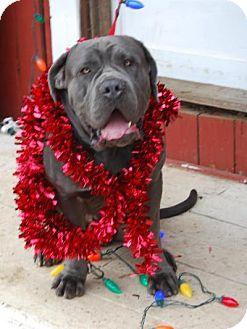 Neapolitan Mastiff Dog for adoption in Norwood, Georgia - Chapo
