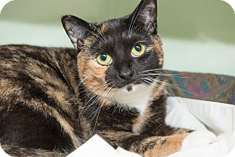 Domestic Shorthair Cat for adoption in New York, New York - Princess