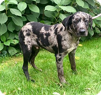 Catahoula Leopard Dog Mix Puppy for adoption in Bedminster, New Jersey - Vernon