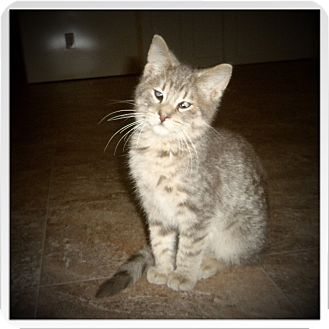 Domestic Shorthair Cat for adoption in Medford, Wisconsin - LYBERT