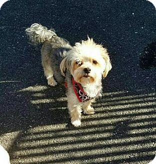 Maltese/Yorkie, Yorkshire Terrier Mix Dog for adoption in Freeport, New York - Niko