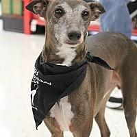 Adopt A Pet :: Dewey - Richardson, TX