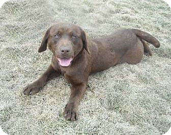 Labrador Retriever Dog for adoption in Winfield, Pennsylvania - Lila