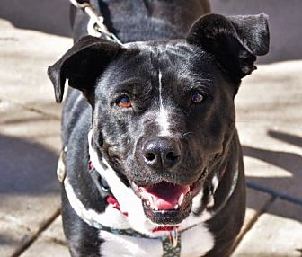Labrador Retriever/American Pit Bull Terrier Mix Dog for adoption in Rockville, Maryland - Janie