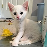 Domestic Shorthair Cat for adoption in Garner, North Carolina - Lucy (white)