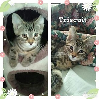 Domestic Shorthair Kitten for adoption in Lockport, New York - Triscuit