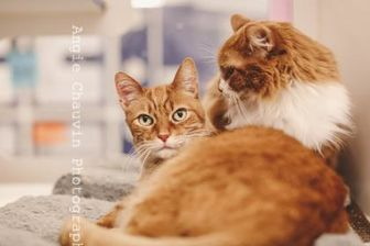 Domestic Mediumhair/Domestic Shorthair Mix Cat for adoption in Windsor, Ontario - Dusty