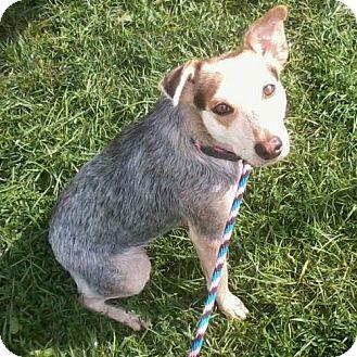 Siberian Husky Mix Dog for adoption in Harvard, Illinois - Leia