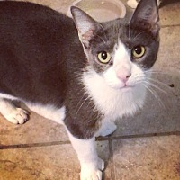 Adopt A Pet :: Tommy Thumbs - San Antonio, TX