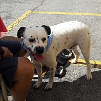 Adopt A Pet :: Domino - Wytheville, VA
