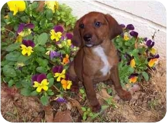 Redbone Coonhound Mix Dog for adoption in Ozark, Alabama - Bubba