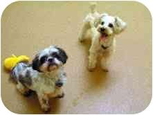 Shih Tzu Dog for adoption in Norwalk, Connecticut - Cookie & Brownie