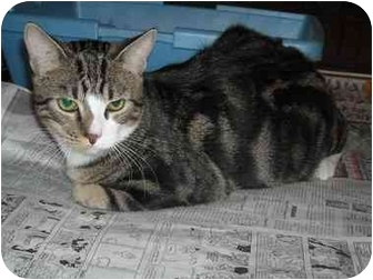 Domestic Shorthair Cat for adoption in Newburgh, Indiana - Tork