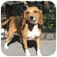 Photo 3 - Beagle Dog for adoption in Long Beach, New York - Lady