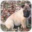 Photo 1 - German Shepherd Dog/Labrador Retriever Mix Puppy for adoption in Brattleboro, Vermont - Sisco