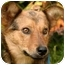 Photo 1 - Shepherd (Unknown Type)/Terrier (Unknown Type, Medium) Mix Dog for adoption in Millstone, New Jersey - Shep
