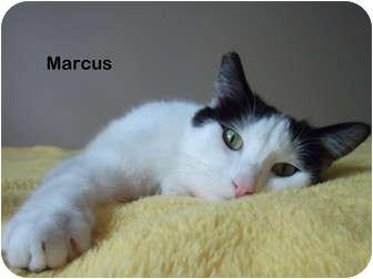 Domestic Shorthair Cat for adoption in Portland, Oregon - Marcus