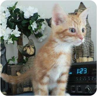 Domestic Shorthair Kitten for adoption in Hendersonville, Tennessee - Chester