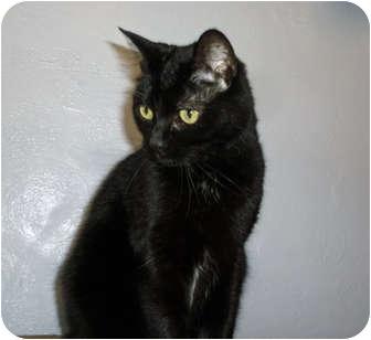 British Shorthair Cat for adoption in San Diego, California - Renata