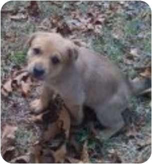 Boxer Mix Puppy for adoption in Haughton, Louisiana - Female puppy