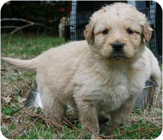 Golden Retriever/Great Pyrenees Mix Puppy for adoption in Hagerstown, Maryland - Golden - Pyres