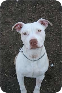 American Staffordshire Terrier Mix Dog for adoption in Islip, New York - Hook