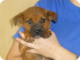 Golden Retriever/Australian Shepherd Mix Puppy for adoption in Oviedo, Florida - Mitzi