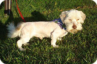 Havanese Dog for adoption in ROCKMART, Georgia - CHAD