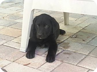 Labrador Retriever Mix Puppy for adoption in Largo, Florida - Sally