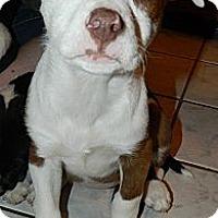 Adopt A Pet :: Callie - Ryland Heights, KY