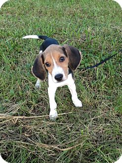 Beagle Mix Puppy for adoption in Syracuse, New York - Luke Skywalker