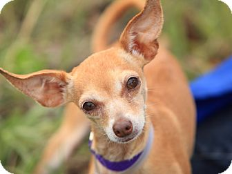 Chihuahua Mix Dog for adoption in Long Beach, California - Mrs. Appleton