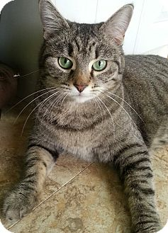 Domestic Shorthair Cat for adoption in Palmdale, California - Tinka