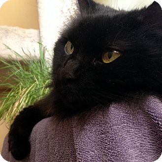 Domestic Longhair Cat for adoption in Las Vegas, Nevada - Sheeba