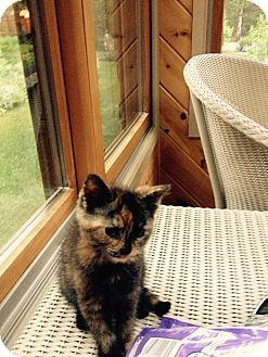 Calico Kitten for adoption in Swansea, Massachusetts - Honey Bear