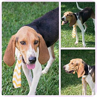 Treeing Walker Coonhound Mix Dog for adoption in Burlington, New Jersey - Maxwell