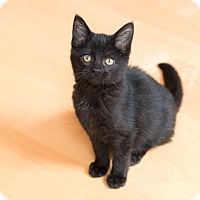 Adopt A Pet :: Cinder - Chicago, IL