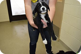 Border Collie Mix Puppy for adoption in Bucyrus, Ohio - Bubbles