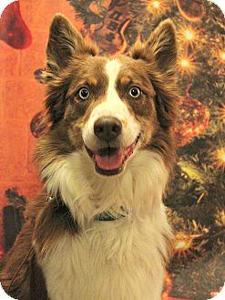 Australian Shepherd Dog for adoption in Starkville, Mississippi - Frankie