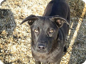 Labrador Retriever/German Shepherd Dog Mix Dog for adoption in Liberty Center, Ohio - Beckett