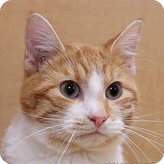 Domestic Shorthair Cat for adoption in Columbia, Illinois - Steven Tyler