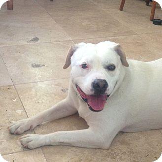 American Bulldog/Labrador Retriever Mix Dog for adoption in Las Vegas, Nevada - Shelby