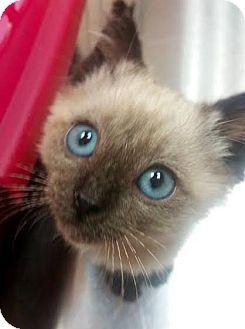 Siamese Kitten for adoption in Tucson, Arizona - Bobbie - he's got purrsonality