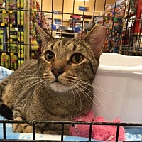Domestic Shorthair Cat for adoption in San Antonio, Texas - Cabo
