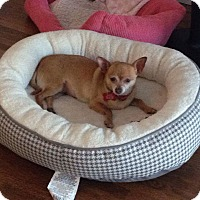 Chihuahua Mix Dog for adoption in LAKEWOOD, California - Chula