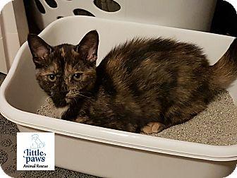 Domestic Shorthair Kitten for adoption in Hamilton, Ontario - Misty