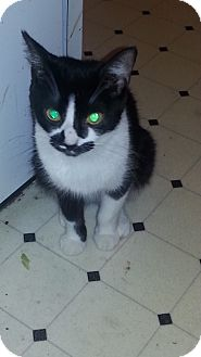 Domestic Shorthair Cat for adoption in Warren, Michigan - Amidala