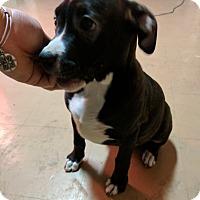 Adopt A Pet :: Sweet Spooky - Brattleboro, VT