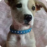 Adopt A Pet :: Scrappy - San Diego, CA