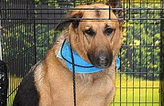 German Shepherd Dog Mix Dog for adoption in Wildomar, California - Rocky
